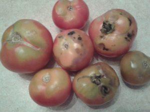 Чернеют помидоры — что делать? Обзор лучших решений от садоводов с фото и видео!